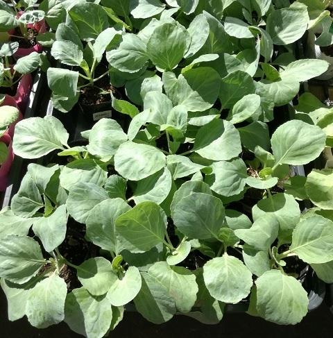 cabbage_01.jpg