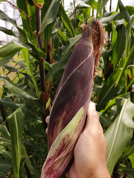 corn_purple_04.jpg