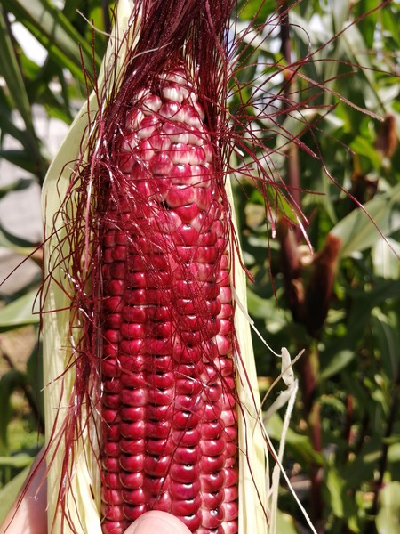 corn_purple_06.jpg