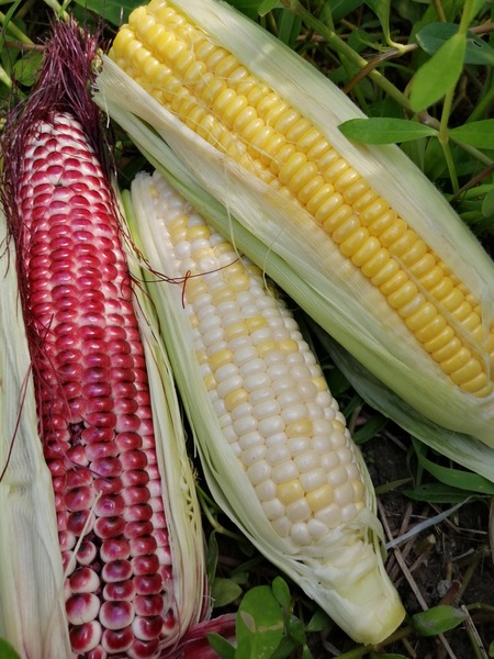 corn_purple_07.jpg