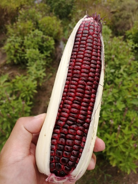 corn_purple_09.jpg