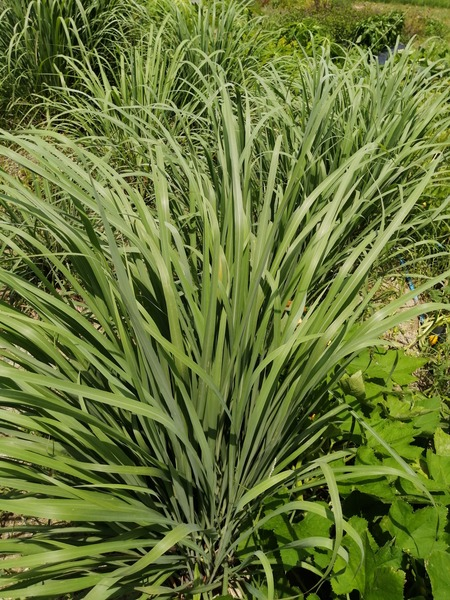 lemongrass_2020_04.jpg