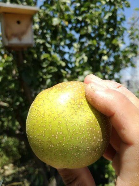 pear_02.jpg