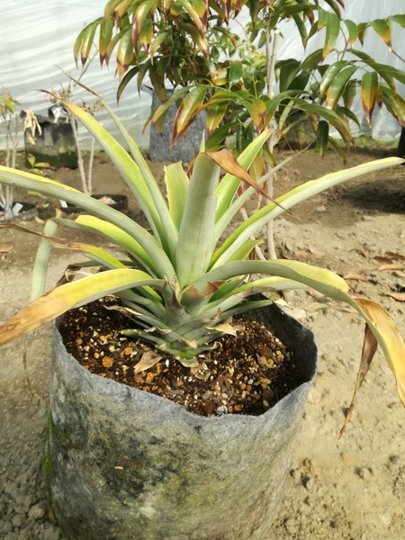 pineapple_2020_04.jpg