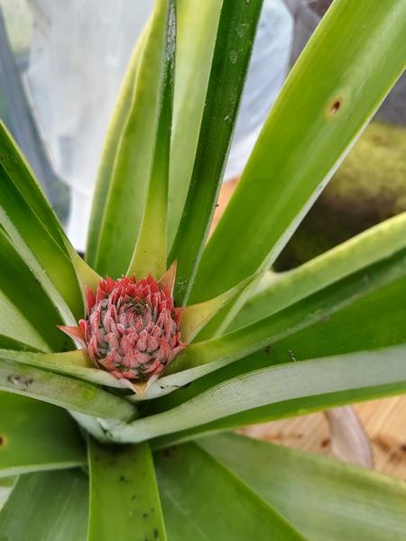 pineapple_2020_06.jpg