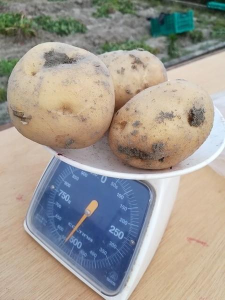 potato_202002.jpg