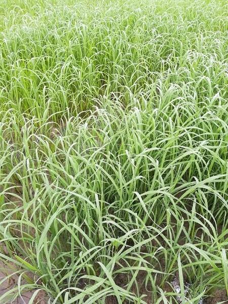 srilanka_rice_02.jpg
