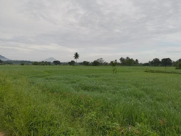 srilanka_rice_03.jpg
