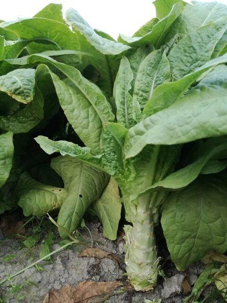 stem_lettuce_04.jpg