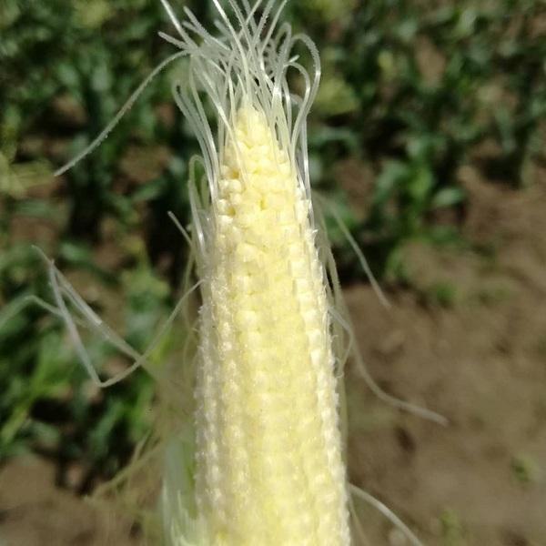 sweet_corn_005.jpg