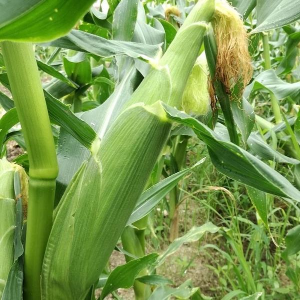 sweet_corn_006.jpg