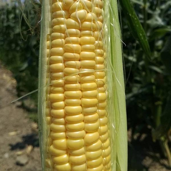 sweet_corn_007.jpg
