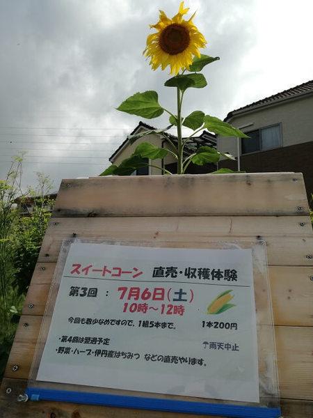 sweet_corn_106.jpg