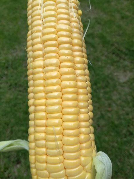 sweet_corn_107.jpg